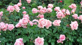 Rose Bush Wallpaper Free