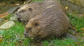 Beaver Wallpaper 1080p