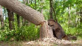 Beaver Wallpaper