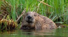 Beaver Wallpaper Background