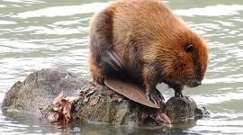 Beaver Wallpaper Download