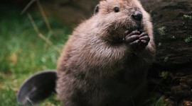 Beaver Wallpaper For IPhone Free