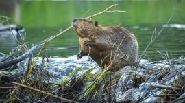 Beaver Wallpaper For PC