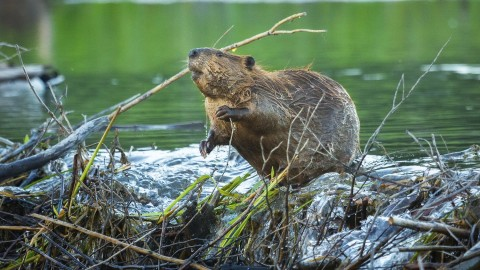 Beaver wallpapers high quality