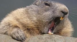 Beaver Wallpaper HD