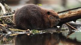 Beaver Wallpaper High Definition
