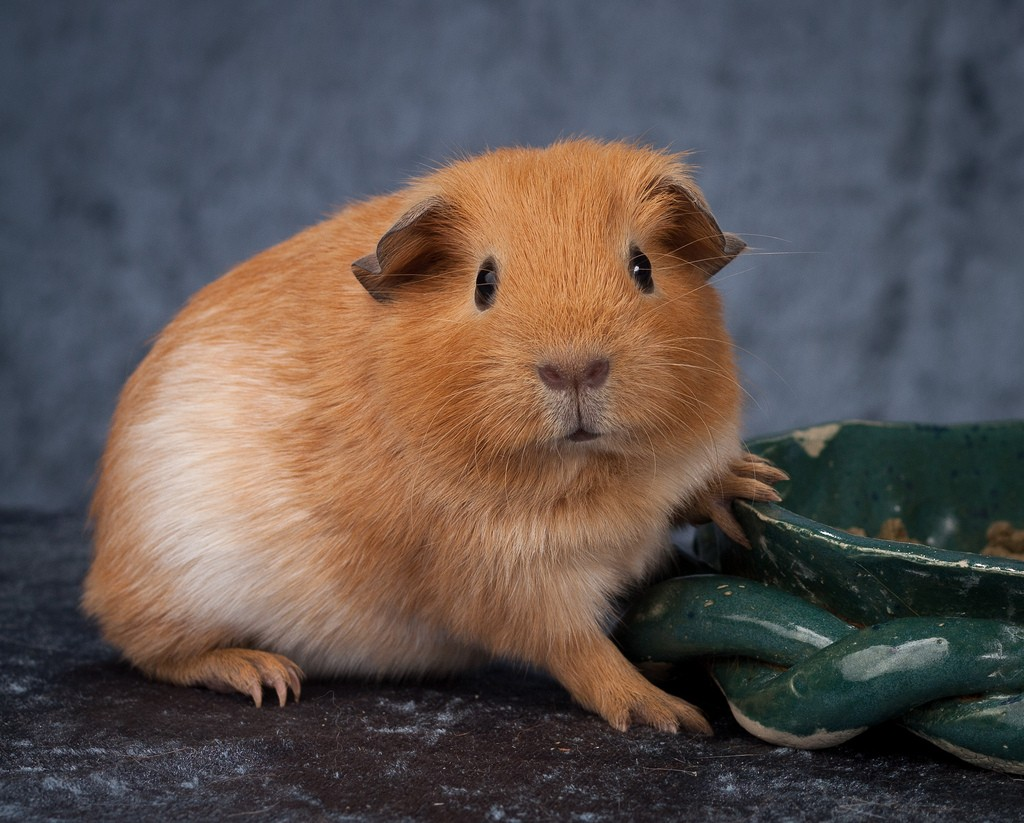 Cavy wallpapers HD