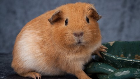 Cavy wallpapers high quality