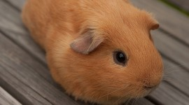 Cavy Wallpaper For IPhone