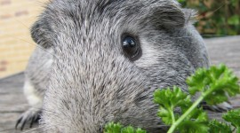 Cavy Wallpaper For IPhone Free