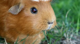 Cavy Wallpaper For PC