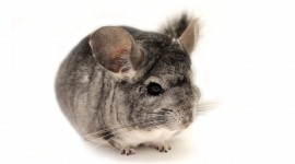 Chinchilla Best Wallpaper