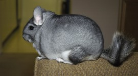 Chinchilla Desktop Wallpaper For PC