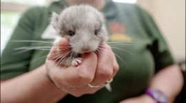 Chinchilla Photo