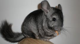 Chinchilla Photo Download