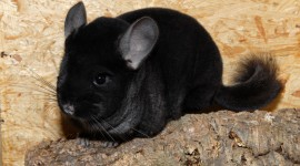 Chinchilla Photo Free