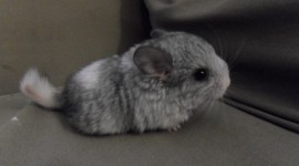 Chinchilla Photo Free#1