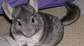 Chinchilla Wallpaper Download