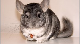 Chinchilla Wallpaper Download Free