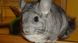 Chinchilla Wallpaper For Desktop