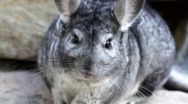 Chinchilla Wallpaper For IPhone
