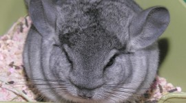 Chinchilla Wallpaper Free