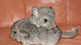 Chinchilla Wallpaper Full HD