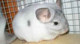 Chinchilla Wallpaper Full HD#1
