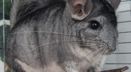 Chinchilla Wallpaper Gallery