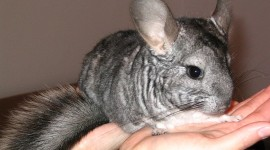 Chinchilla Wallpaper HQ