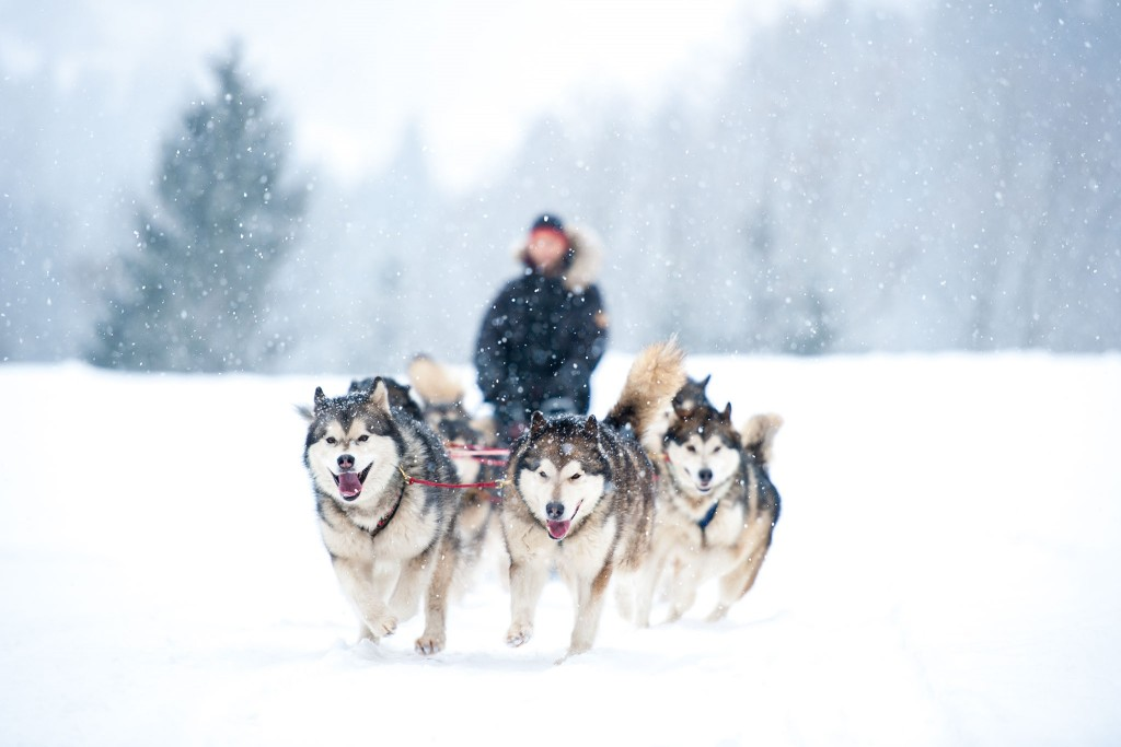 Dog Sledding wallpapers HD