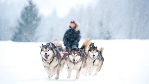 Dog Sledding wallpapers high quality
