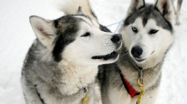 Dog Sledding Photo