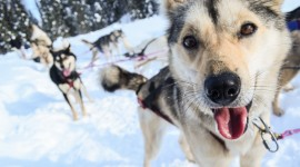 Dog Sledding Photo Download