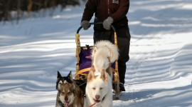 Dog Sledding Wallpaper For Android