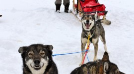 Dog Sledding Wallpaper For Mobile