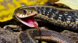 Grass Snake Desktop Wallpaper HD