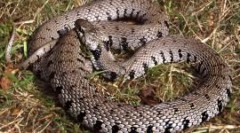 Grass Snake Image