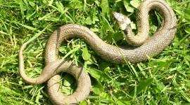 Grass Snake Photo Free
