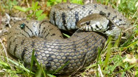 Grass Snake Wallpaper Download