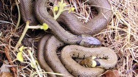 Grass Snake Wallpaper For IPhone