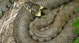 Grass Snake Wallpaper HQ#1