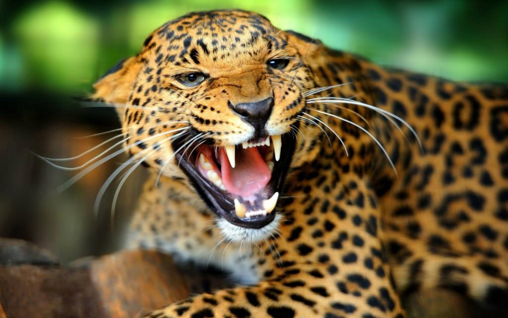 Jaguar Animal wallpapers HD