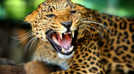 Jaguar Animal Best Wallpaper