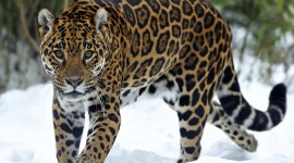 Jaguar Animal Desktop Wallpaper For PC