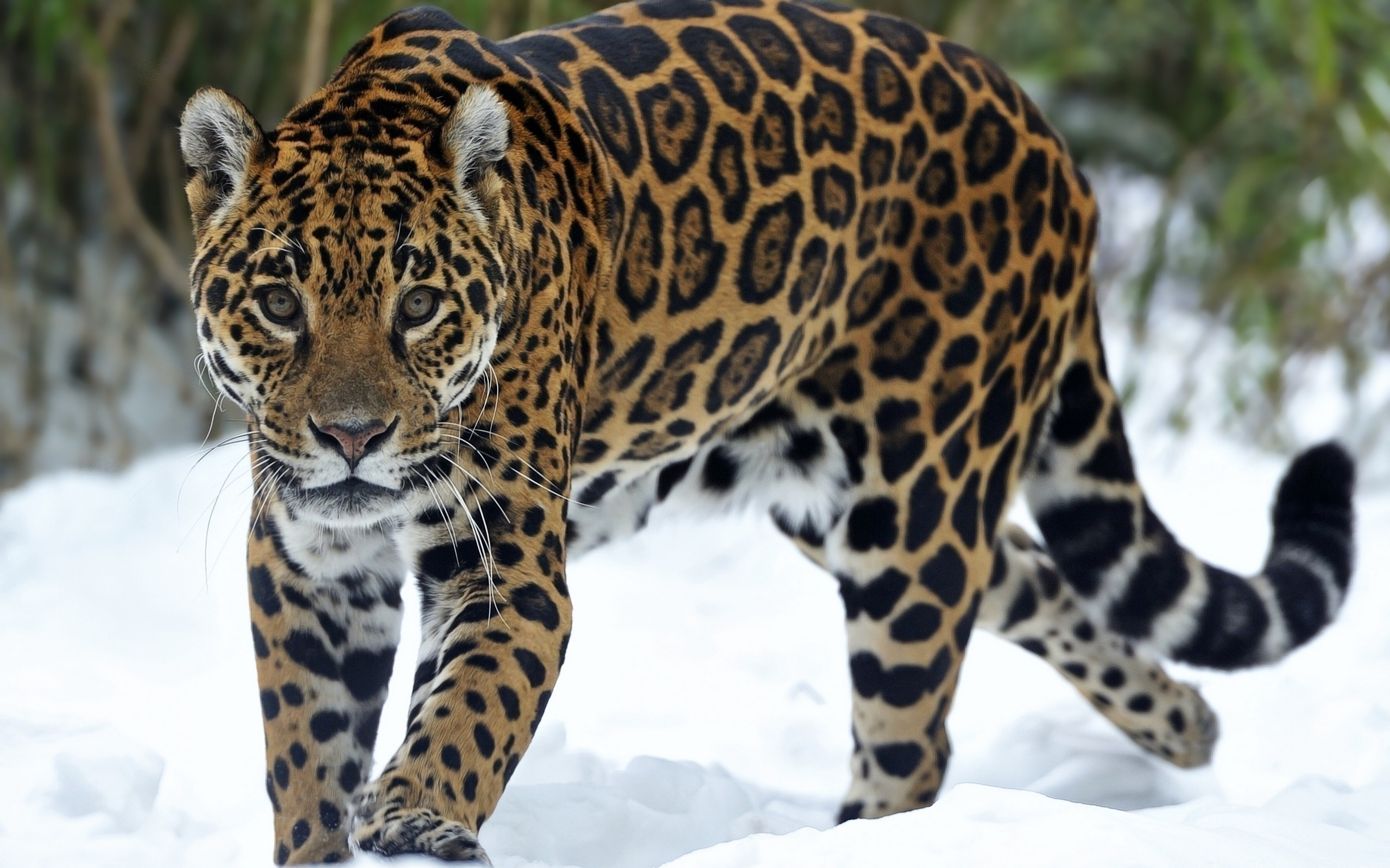 Jaguar Animal Wallpapers High Quality