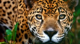 Jaguar Animal Photo
