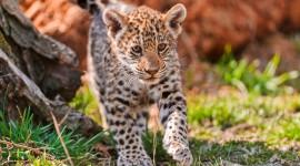 Jaguar Animal Photo Download