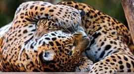 Jaguar Animal Photo Free