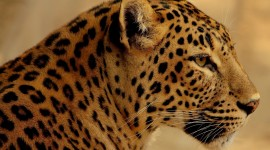 Jaguar Animal Photo Free#1